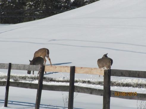 Deer 3 Snow Mar2015