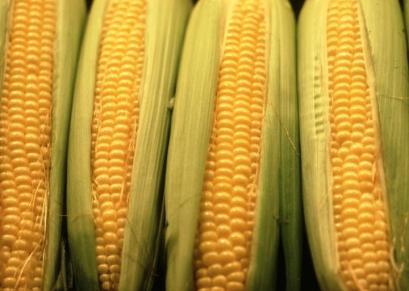 ears_of_corn