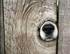 Dog nose in fence